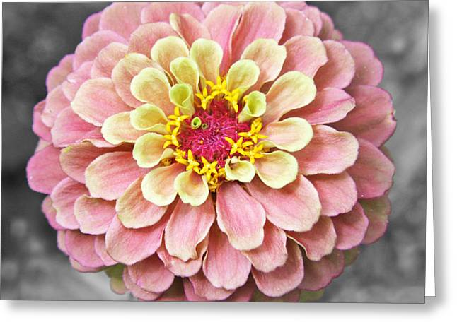 Zinnia In Pink And Yellow Greeting Card by Brooke Ryan
