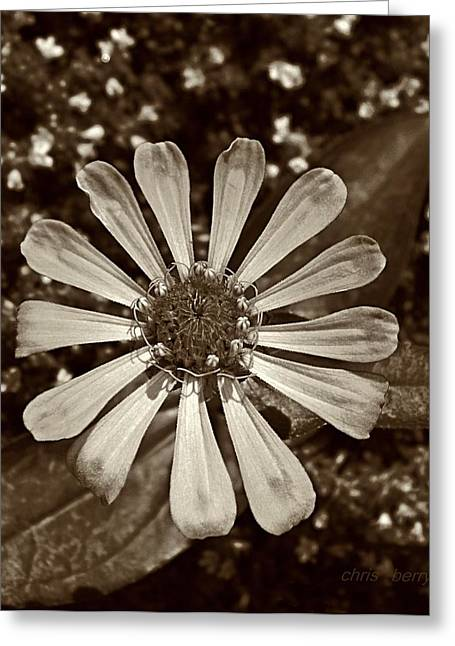 Warm Tones Greeting Cards - Zinnia Monochrome Greeting Card by Chris Berry