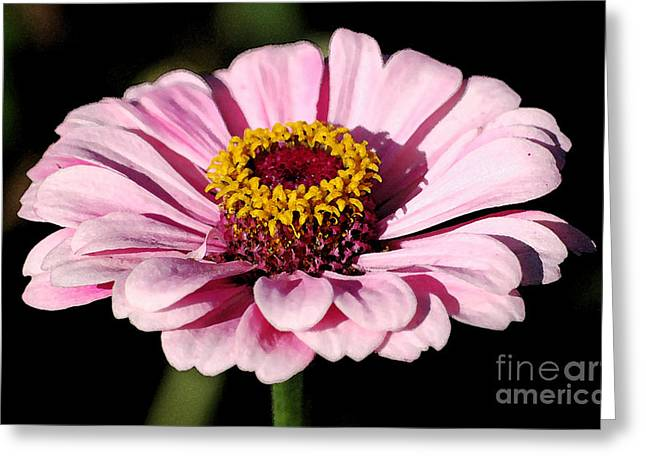 Zinnia Pink Flower Floral Decor Macro Watercolor Digital Art Greeting Card by Shawn O'Brien
