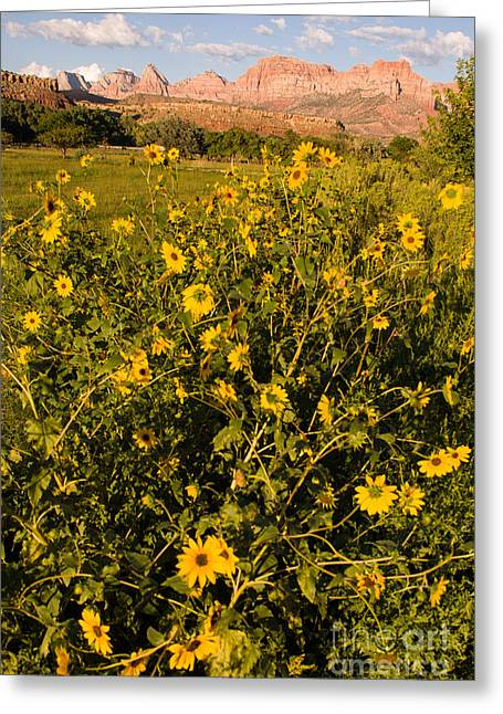 Geobob Greeting Cards - Zion Peaks and Sunflowers Glow in Setting Sun Rockville Utah Greeting Card by Robert Ford