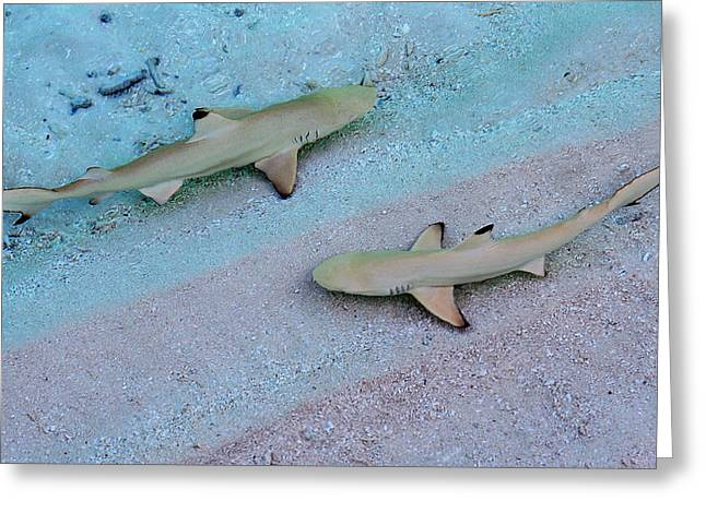 Baby Shark Greeting Cards - Zone Control. Babies of Black Tip Sharks Greeting Card by Jenny Rainbow