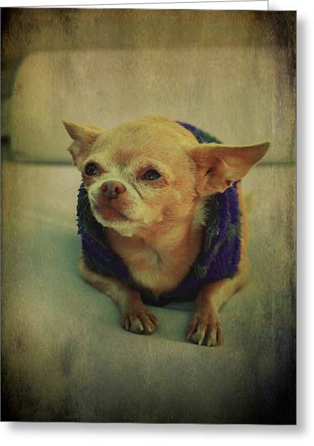 Chihuahua Portraits Greeting Cards - ZoZo Greeting Card by Laurie Search