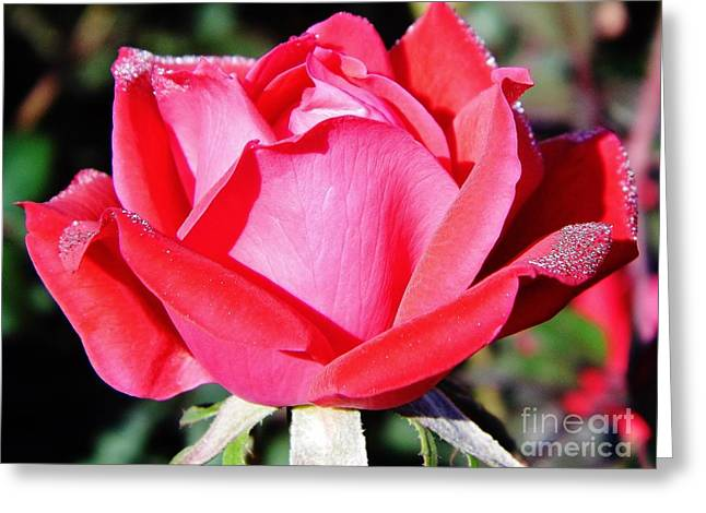 Moisture On Plants Photographs Greeting Cards - Red - Rose - Dew Covered Greeting Card by D Hackett
