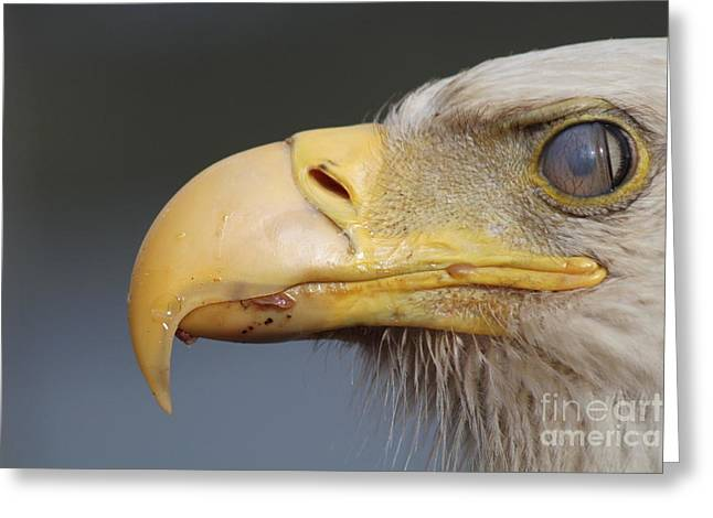Gnarly Greeting Cards -  Bald Eagle Blinking Greeting Card by Dean Gribble