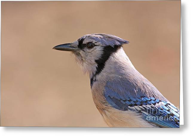 Blue Jay posing Greeting Card by David Cutts