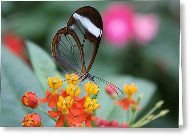 Wildlife Celebration Greeting Cards -  Butterfly Greeting Card by Stephen Inglis