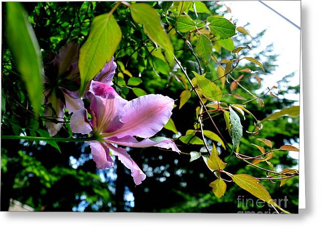 Searcy Greeting Cards -  Clematis Flower Greeting Card by Tanya  Searcy