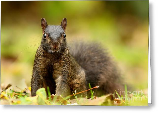 Sciurus Carolinensis Greeting Cards -  Curious Black Squirrel Greeting Card by Mircea Costina Photography