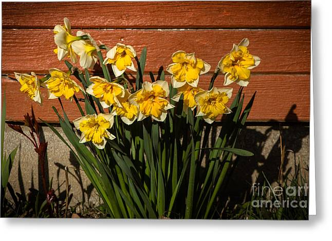 Bouquet Amaryllis Greeting Cards -  Daffodils Greeting Card by Robert Bales