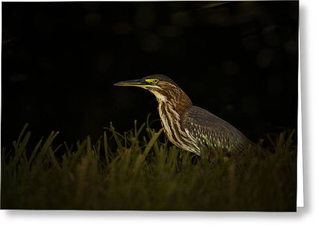 Secretive Birds Greeting Cards -  Green Heron Greeting Card by Anne Rodkin