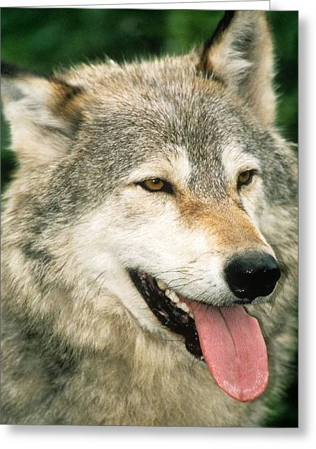 Happy Gray Wolf Greeting Card by Larry Allan