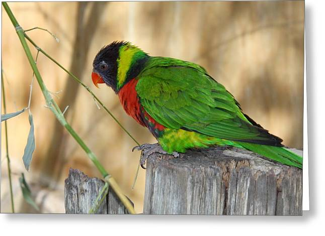 Pensive Greeting Cards -  Lorikeet Parrot Sitting on a Fence Post  Greeting Card by Terry Fleckney