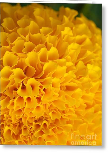 Head Covered Greeting Cards -  Marigold Macro View Greeting Card by Atiketta Sangasaeng