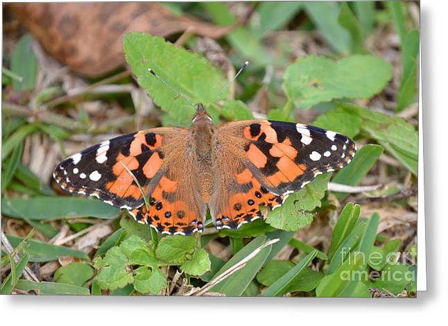 Orangey Greeting Cards -  Pretty Painted Lady  Greeting Card by Kathy Gibbons
