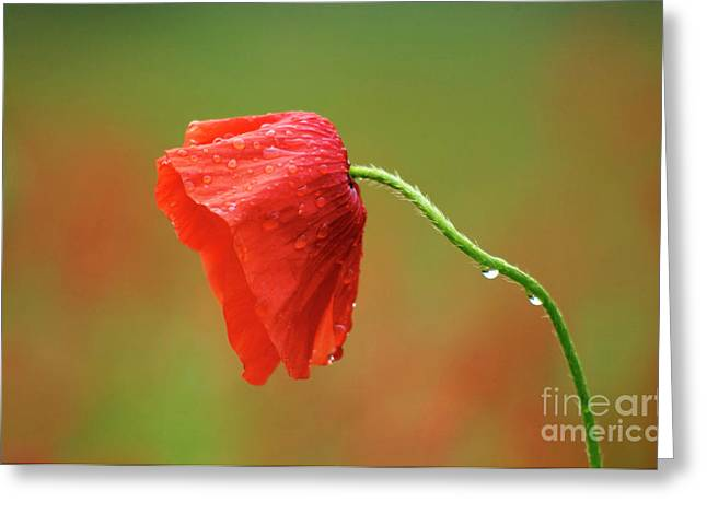 Cultivation Greeting Cards -  Solitary poppy. Greeting Card by Bernard Jaubert