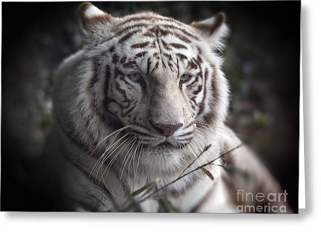 The Tiger Greeting Cards -  The Tigers  Watchful Eye Greeting Card by Heinz G Mielke