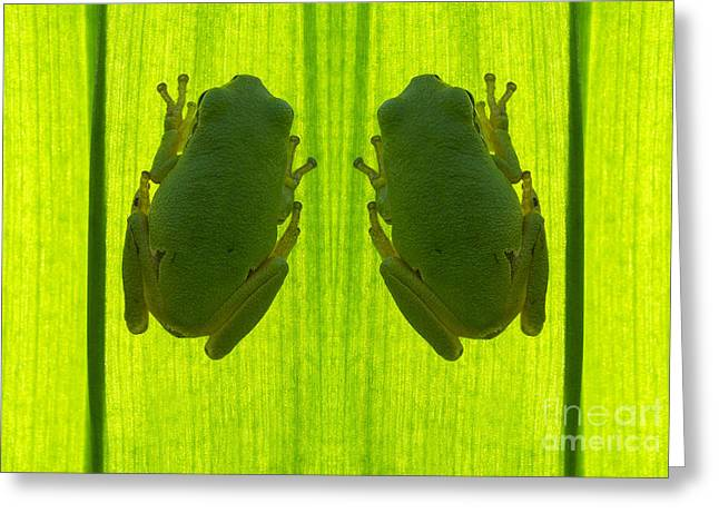 Sticky Fingers Greeting Cards -  Two tree frog Greeting Card by Odon Czintos