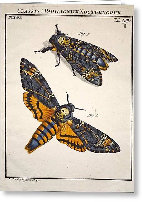 Lifecycle Greeting Cards - 1744 Deaths Head Hawkmoth By Rosenhoff. Greeting Card by Paul D Stewart