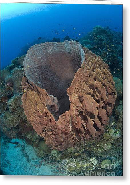 New Britain Greeting Cards - A Barrel Sponge Attached To A Reef Greeting Card by Steve Jones
