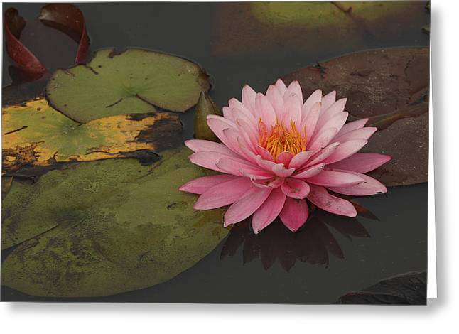 Frederick Greeting Cards - A Beautiful Pink Waterlily In A Pond Greeting Card by George Grall