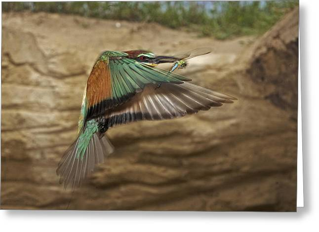 Flying Animal Greeting Cards - A Bee Eater Flies To Its Nesting Hole Greeting Card by Joe Petersburger