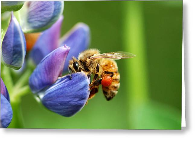 Arlington Greeting Cards - A Bee Visiting A Lupine Lupinus Flower Greeting Card by Darlyne A. Murawski