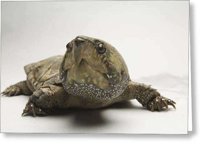 Release Greeting Cards - A Big-headed Turtle From Asia Greeting Card by Joel Sartore