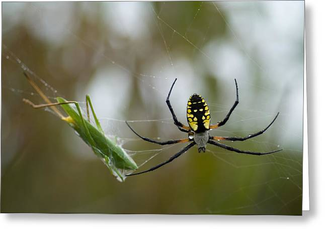 Spun Web Greeting Cards - A Black-and-yellow Argiope At Spring Greeting Card by Joel Sartore