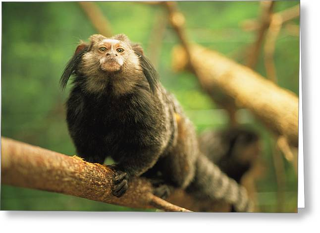 Tufted Ears Greeting Cards - A Black Tufted-ear Marmoset Clings Greeting Card by Joel Sartore