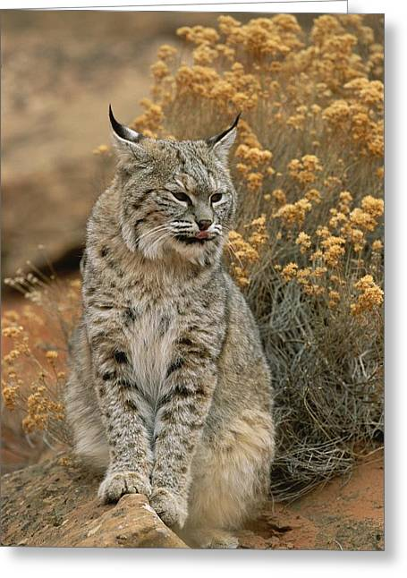 Felis Rufus Greeting Cards - A Bobcat Greeting Card by Norbert Rosing