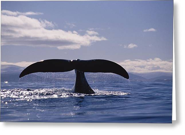 Right Whale Breach Greeting Cards - A Bowhead Whale Also Known Greeting Card by Paul Nicklen