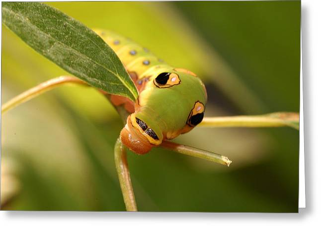 Spicebush Swallowtail Greeting Cards - A Caterpillar Of The Spicebush Greeting Card by Darlyne A. Murawski
