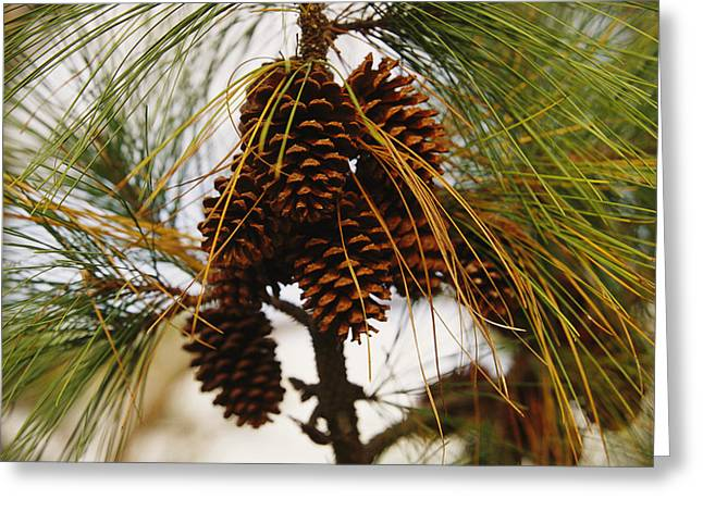 Long Leaves Greeting Cards - A Cluster Of Long Leaf Pine Needles Greeting Card by Raymond Gehman