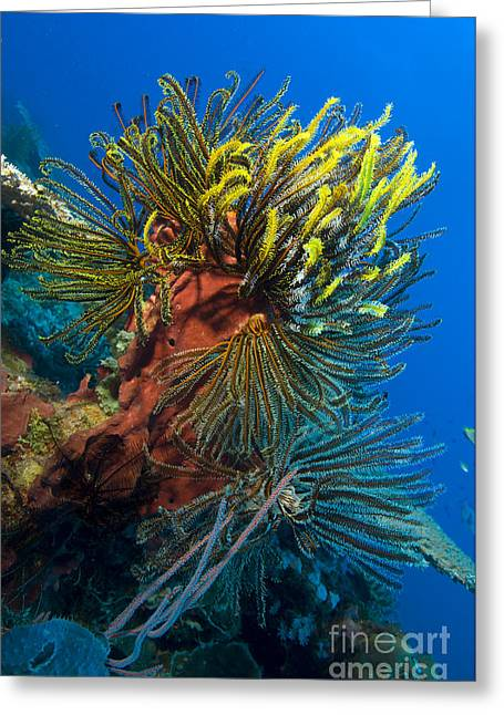 A Colony Of Feather Stars Attached Greeting Card by Steve Jones