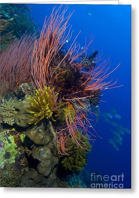 A Colony Of Red Whip Fan Corals Greeting Card by Steve Jones