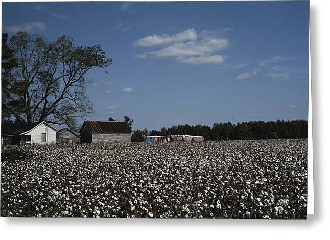 Farmers And Farming Greeting Cards - A Cotton Field Surrounds A Small Farm Greeting Card by Medford Taylor