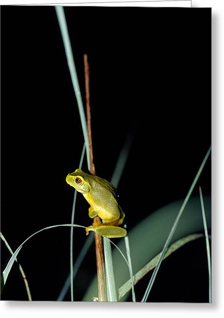 Big Belly Greeting Cards - A Dainty Green Tree-frog Climbing Greeting Card by Jason Edwards