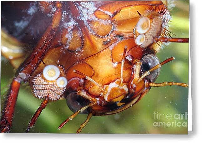 Aquatic Greeting Cards - A Diving Beetle Greeting Card by Ted Kinsman