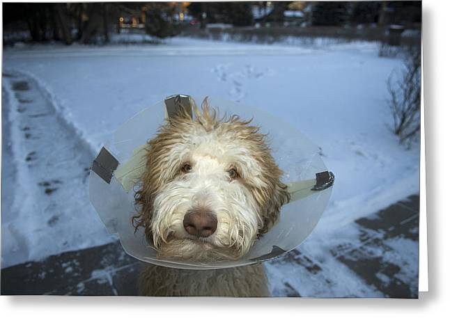 Neutered Greeting Cards - A Dog With A Plastic Collar Greeting Card by Joel Sartore