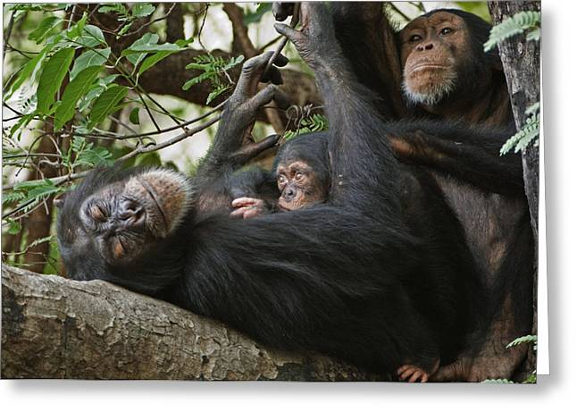 Senegal Greeting Cards - A First-time Mother Chimpanzee Reclines Greeting Card by Frans Lanting