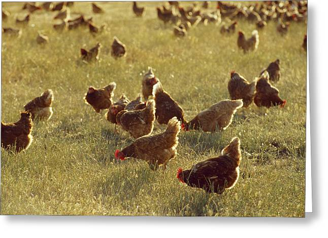 Birds Of A Feather Greeting Cards - A Flock Of Free Range Chickens On An Greeting Card by Jason Edwards