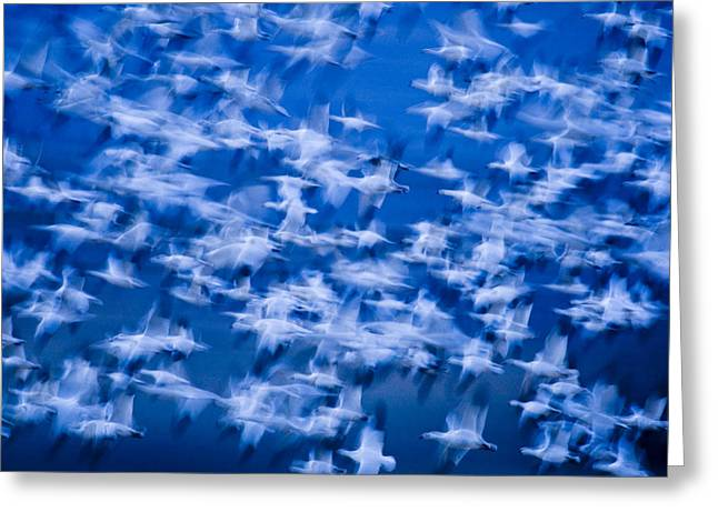 The Flight Of The Snow Geese Greeting Cards - A Flock Of Snow Geese Chen Caerulescens Greeting Card by Ralph Lee Hopkins