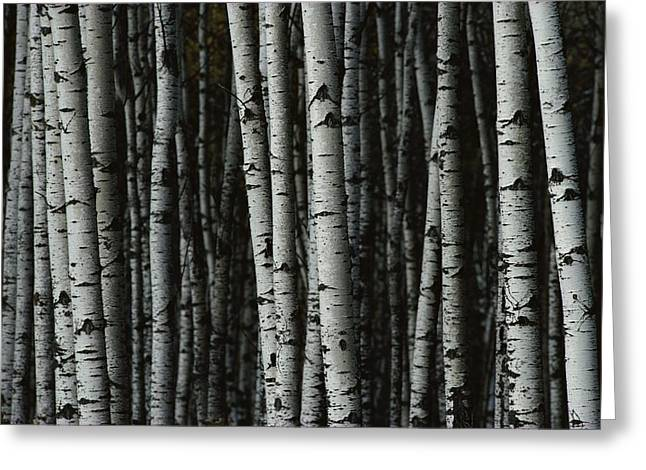 Riding Greeting Cards - A Forest Of White Birch Trees Betula Greeting Card by Medford Taylor