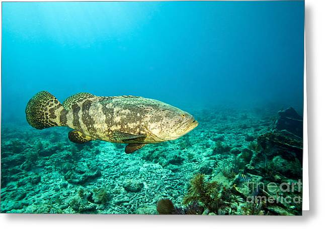 Florida Reefs Greeting Cards - A Goliath Grouper Effortlessly Floats Greeting Card by Terry Moore