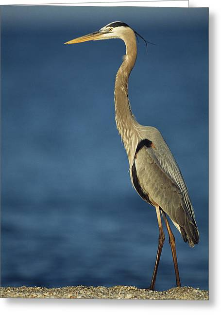 Ardea Herodias Greeting Cards - A Great Blue Heron Walks In The Sand Greeting Card by Klaus Nigge
