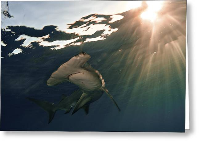 Hammerhead Sharks Greeting Cards - A Great Hammerhead Shark Greeting Card by Brian J. Skerry