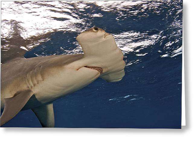 Hammerhead Sharks Greeting Cards - A Great Hammerhead Shark Swimming Greeting Card by Brian J. Skerry