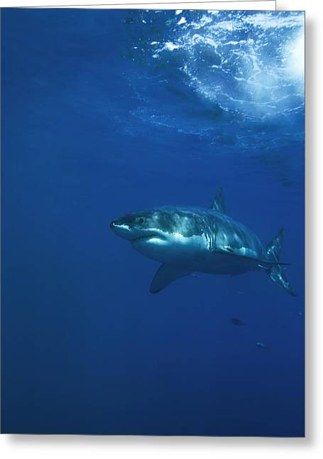 White Shark Greeting Cards - A Great White Shark Swims In Clear Greeting Card by Mauricio Handler
