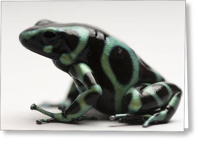 Release Greeting Cards - A Green-and-black Poison Dart Frog Greeting Card by Joel Sartore