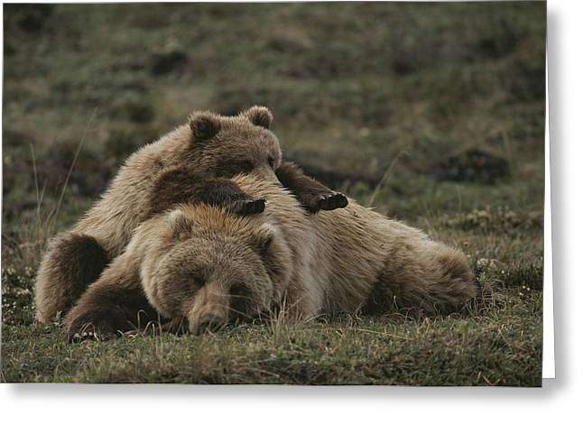 Bask Greeting Cards - A Grizzly Mother And Her Cub Lounge Greeting Card by Michael S. Quinton